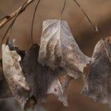 三角叶杨在秋天烘干了叶子 库存图片