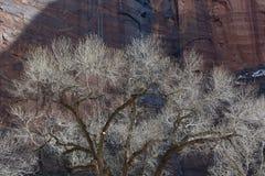 三角叶杨树在与瀑布和Redrock峭壁的冬天 图库摄影