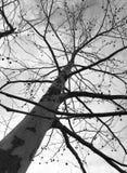 三角叶杨树在冬天 免版税库存图片