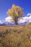 三角叶杨树在大蒂顿国家公园,杰克逊,怀俄明 库存照片