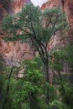 三角叶杨树在锡安国家公园 库存图片