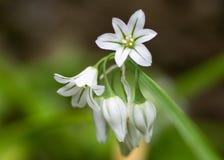 三角大蒜(葱属triquetrum)在花 库存图片