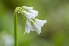三角大蒜(葱属triquetrum)在从边的花 库存图片