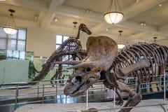 三角恐龙在的Fossile模型美国自然历史博物馆AMNH -纽约,美国 库存图片