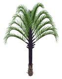 三角棕榈树, dypsis decaryi - 3D回报 库存图片