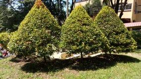 三角灌木 免版税库存图片
