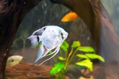 三角水族馆scalare鱼 免版税图库摄影