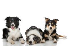 三说谎在白色背景的博德牧羊犬狗 库存照片