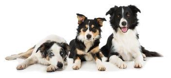 三说谎在白色背景的博德牧羊犬狗 免版税库存图片