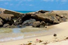 三趾滨鹬处理其食物 库存图片