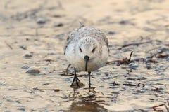 三趾滨鹬趟水者或水鸟,晨曲的Calidris 英国 库存图片