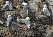 三趾鸥殖民地 免版税库存图片