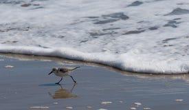 三趾滨鹬或矶鹞在海滨 图库摄影