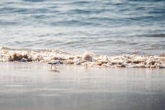 三趾滨鹬鸟,矶鹞的类型,在湿海滩沙子 库存照片