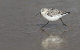 三趾滨鹬& x28; Calidris alba& x29;跑在海滩 免版税库存照片