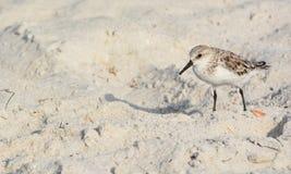三趾滨鹬calidris晨曲在海滩墨西哥湾在佛罗里达 免版税库存照片