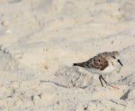 三趾滨鹬calidris晨曲在海滩墨西哥湾在佛罗里达 免版税库存图片