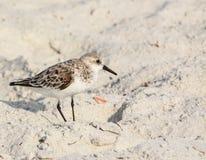 三趾滨鹬calidris晨曲在海滩墨西哥湾在佛罗里达 免版税图库摄影