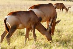 三连续-红色Harte-beest -狷羚buselaphus caama 免版税库存照片