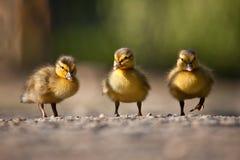 三重奏duclings 库存图片