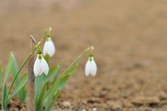 三雪下落在春天 免版税库存照片