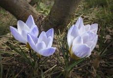 三非常柔和的蓝色以一个棕色树干为背景的春天番红花蓝色珍珠特写镜头  库存照片