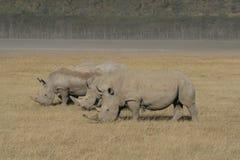 三非洲白色犀牛,正方形有嘴犀牛,纳库鲁湖,肯尼亚 图库摄影