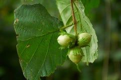 三颗绿色榛子 免版税库存照片