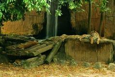 三马来亚老虎在动物园里有休息在树下 免版税库存图片