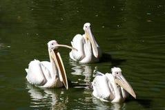 三鹈鹕在湖水域中 免版税库存图片
