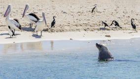 三鹈鹕观看一头海狮接近从在企鹅海岛,Rockingham,澳大利亚沙滩的水出来  库存照片