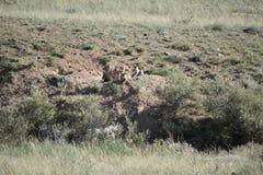 三3只土狼小狗 库存照片
