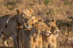 三头结合的狮子在克留格尔国家公园 图库摄影