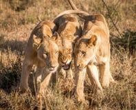 三头结合的狮子 免版税库存图片