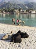 三头圣牛在瑞诗凯诗 免版税库存图片