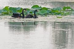 三黑天鹅和莲花叶子 图库摄影