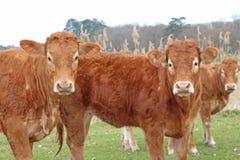 三头好奇母牛 库存图片