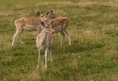 三头小鹿 库存照片