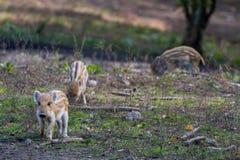 三头幼小公猪猪 图库摄影