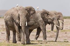 三头成人非洲大象在Amboseli,肯尼亚 图库摄影