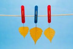 三从晒衣绳暂停的加拿大桦叶子使用晒衣夹 库存照片