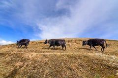 三头母牛在山走 库存图片
