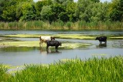 三头母牛来了到一个饮水池到河 库存图片
