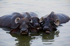 三头母牛从热逃脱在河 库存图片