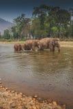 三头泰国狂放的大象步行在河 免版税库存图片