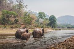 三头狂放的泰国大象 免版税库存照片