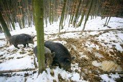 三头狂放的肉猪 库存照片