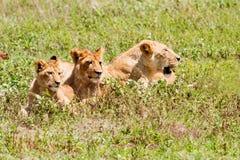 三头狮子 免版税库存照片