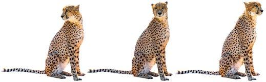 三头猎豹开会 免版税图库摄影