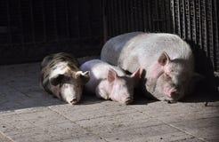 三头猪变冷 图库摄影